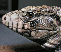 Photo of Jasper, a very cool tegu