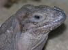 Picture of Kharma, one of our Rhino Iguanas